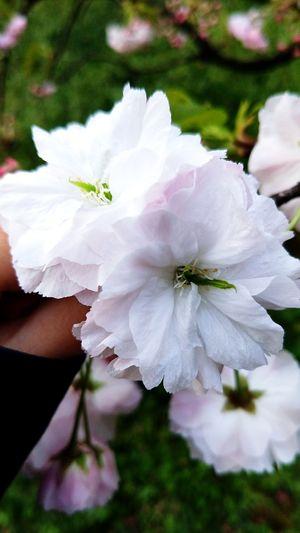 樱 Nature Fragility Beauty In Nature Petal No People White Color