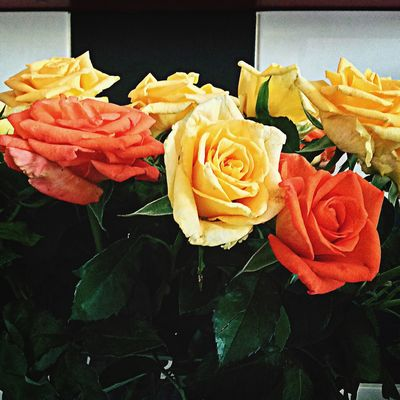 Roses Nature Belgrade Serbia