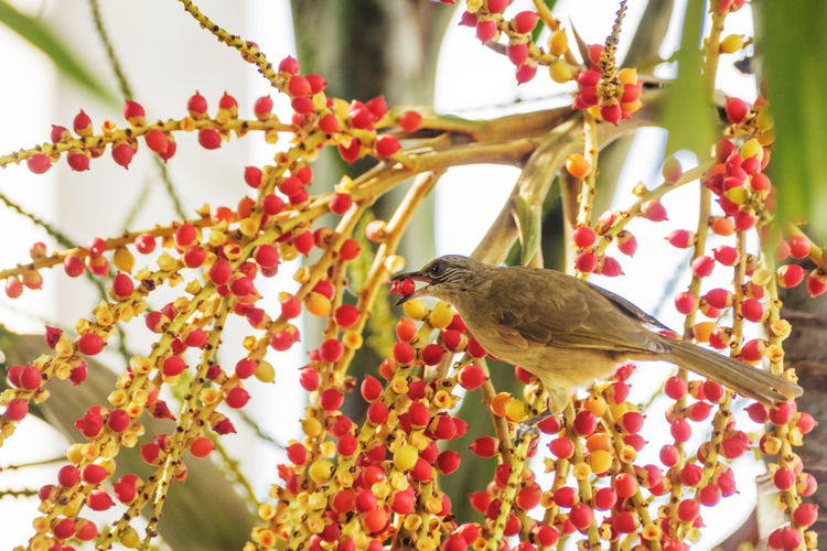 Low angle view of streak-eared bulbul eating fruit