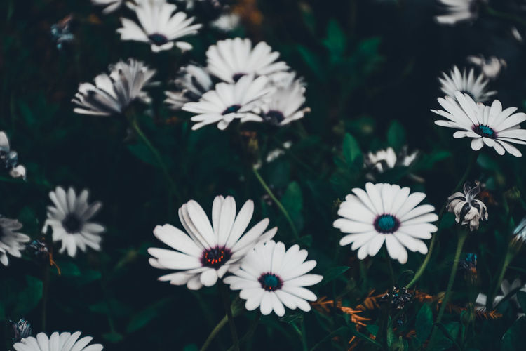 Beauty In Nature Blooming Close-up Day Flower Flower Head Flowers Fragility Freshness Garden Growth High Angle View Nature No People Osteospermum Outdoors Petal Plant Roses Spring White Color EyeEm Selects