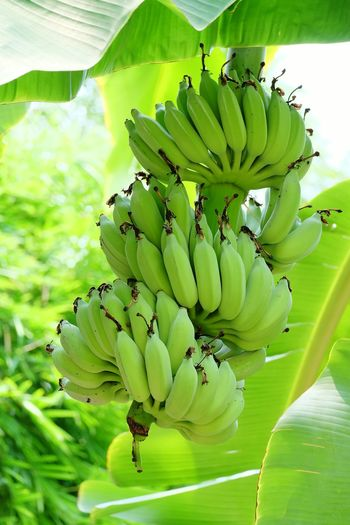 Green Bananas. Green Bananas Banana Bananas Banana Tree Banana Leaf Banana Leaves Banana Plant Green Nature_collection Nature Photography Thailand Photos