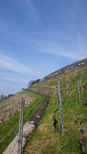 Heppenheim Weinberg Weinberge Bergstraße Wine Wineyard Wineyards German Wineyard Hessen Wingert Weinbau Wineandmore Wine Country Wine Tasting