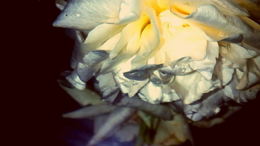 Bouquet In A Bottle Rose🌹 Roseporn Cremecaramel EyeEm Gallery EyeEm Best Edits Showcase: January Old School Romance