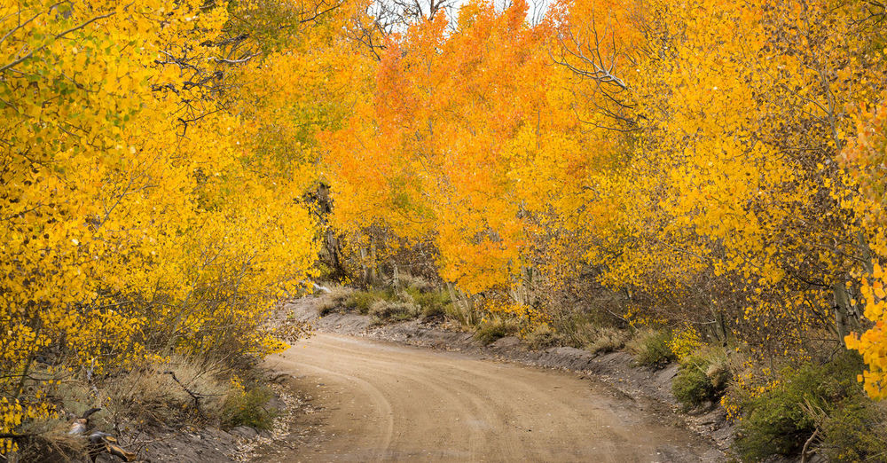 Autumn landscape Autumn Tree Beauty In Nature Road Yellow Nature The Way Forward Direction No People Land Scenics - Nature Tranquil Scene Forest Landscape Outdoors Autumn Collection Aspen Trees Eastern Sierras, CA Dirt Road