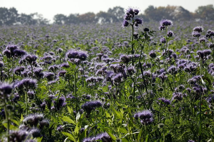 Phacelia Beauty In Nature Bienenweide Close-up Day Field Flower Flower Head Fragility Freshness Growth Nature No People Outdoors Plant Purple Thistle Wildflower