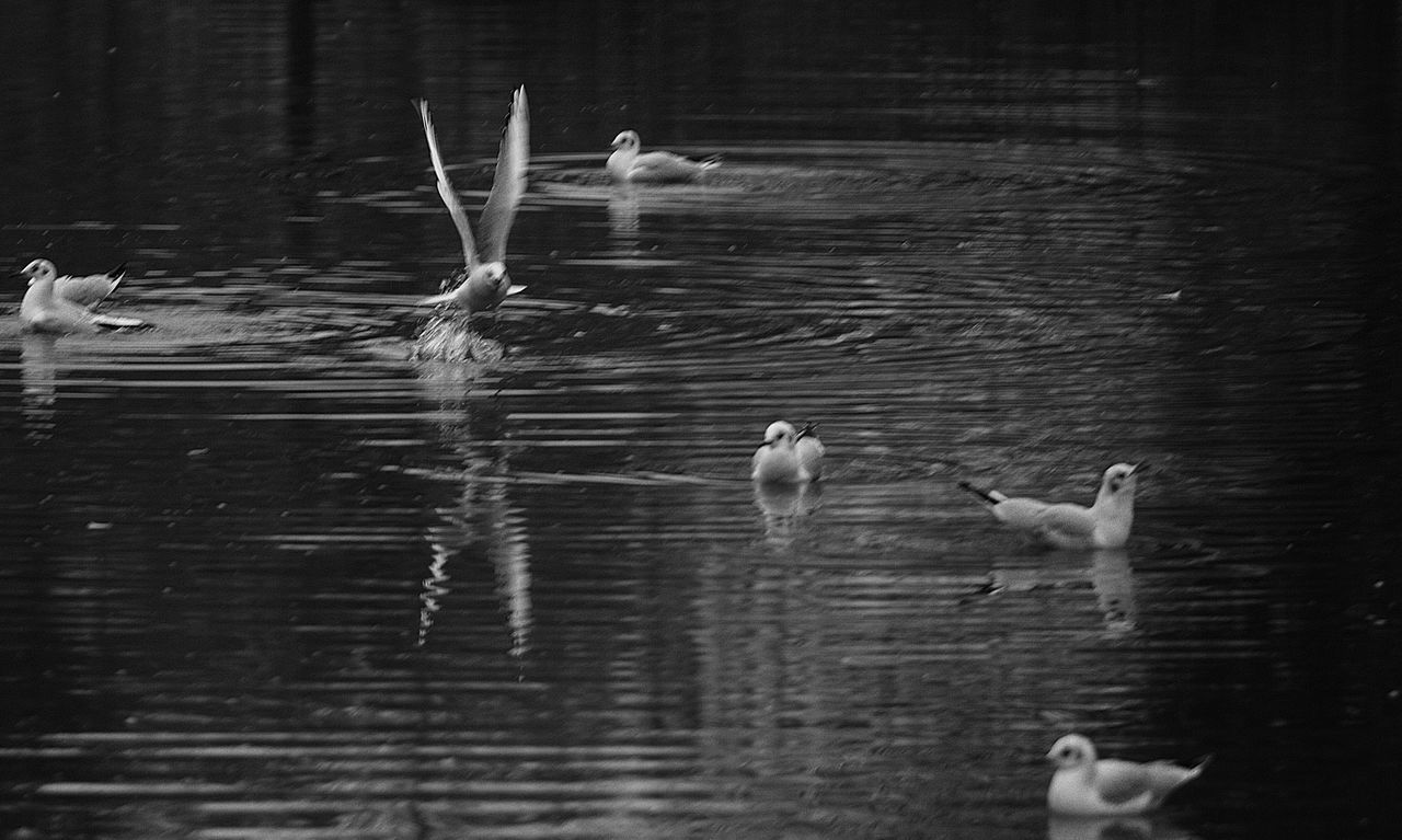 animal themes, bird, animals in the wild, lake, animal wildlife, water, water bird, nature, swimming, duck, wildlife, reflection, spread wings, no people, waterfront, day, flying, motion, outdoors, togetherness, beauty in nature, goose, seagull, swan