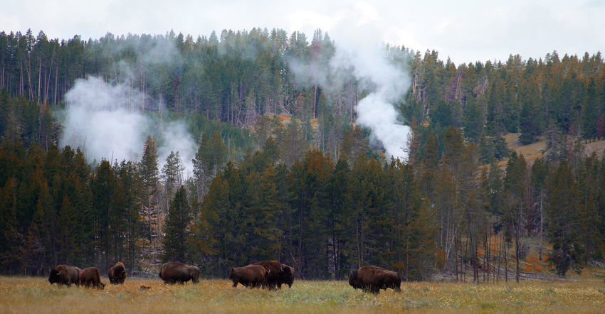 american bison in yellowstone nationalpark Autumn Buffalo Steam USA Wyoming Yellowstone National Park American Bison Animal Animal Themes Animal Wildlife Animals In The Wild Beauty In Nature Environment Forest Group Of Animals Herbivorous Land Landscape Nature Nature_collection No People Non-urban Scene Outdoors Scenics - Nature WoodLand