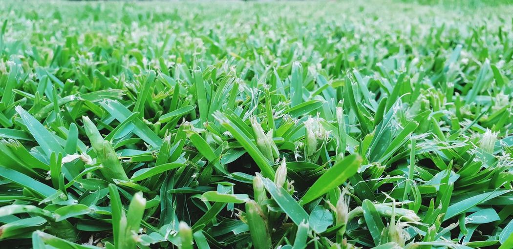 Cereal Plant Backgrounds Agriculture Full Frame Field Leaf Close-up Grass Plant Green Color