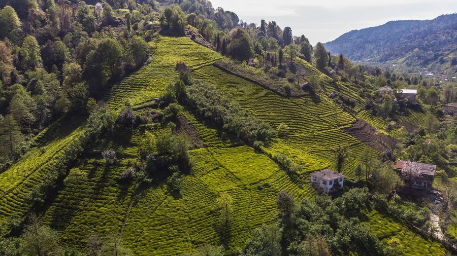 Tea Fiels , Rize , Turkey Tea Field Rize/Turkey Dronephotography Rize Droneshot Growth Agriculture Plant Beauty In Nature Green Color Crop  Scenics - Nature Landscape Field Tranquility No People Outdoors