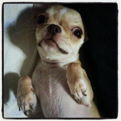 Applehead Chihuahua Dogstagram Petstagram dogoftheday petoftheday babyelmo photoadayoctober photooftheday webstagram instago instadaily