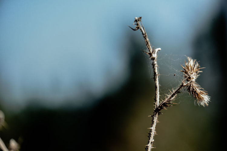 Beauty In Nature Close-up Day Dead Plant Dried Dried Plant Dry Flower Flowering Plant Focus On Foreground Fragility Growth Nature No People Outdoors Plant Plant Stem Selective Focus Tree Twig Vulnerability  Wilted Plant
