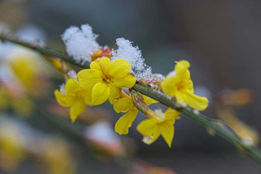 Schnee Beauty In Nature Close-up Day Flower Flower Head Focus On Foreground Fragility Freshness Growth Jasmine Flower Nature No People Outdoors Petal Plant Springtime Winter Yellow