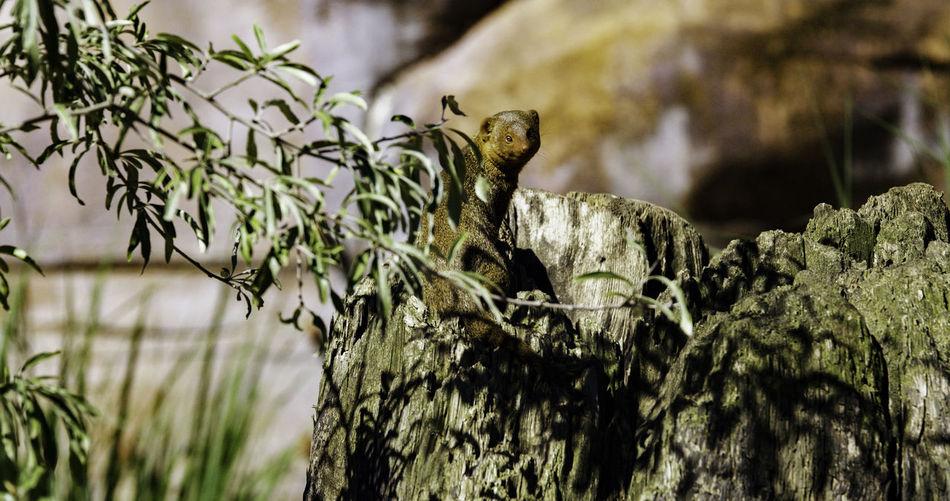 Mongoose Sitting On Tree Stump