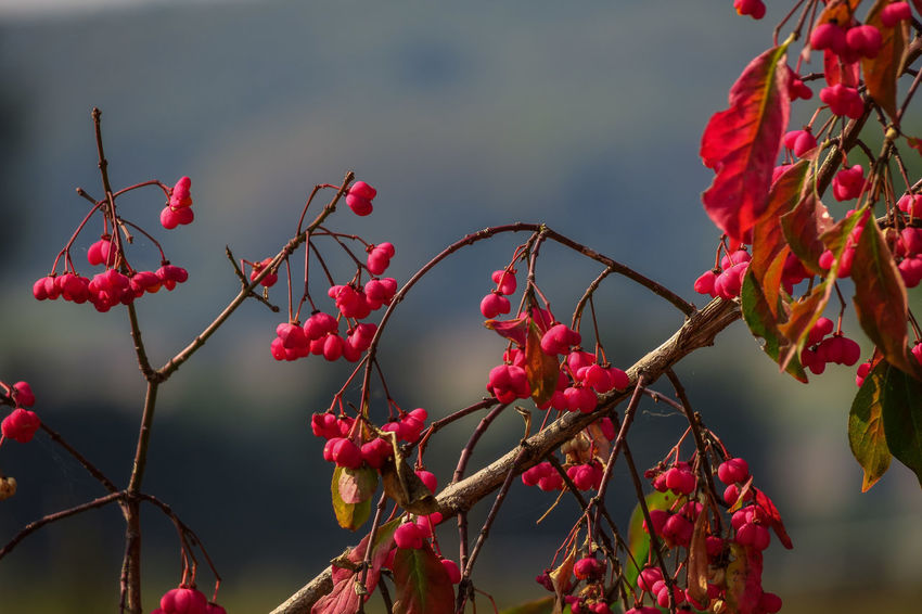 Euonymus Europaeus Felder Beauty In Nature Blick Bokeh Lights Branch Close-up Day Flower Focus On Foreground Food And Drink Fragility Freshness Fruit Growth Leuchtend Rot Nature No People Outdoors Pfaffenhütchen Plant Red Rose Hip Rowanberry Tree äste