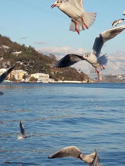 ıstanbul Seagulls 3.köprü Sariyer Birds Hello World