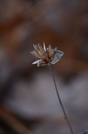 Close-up Plant Flower Fragility Vulnerability  Flowering Plant Beauty In Nature Growth Freshness Selective Focus Focus On Foreground No People Nature Day Flower Head Inflorescence Outdoors Plant Stem Petal Wilted Plant Dandelion Seed Sepal