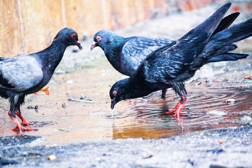 Thirsty Pigeon Eyebird Thirstypigeon Thirsty  Pigeon Pigeon Bird  EyeEm Selects Bird Water Dove - Bird