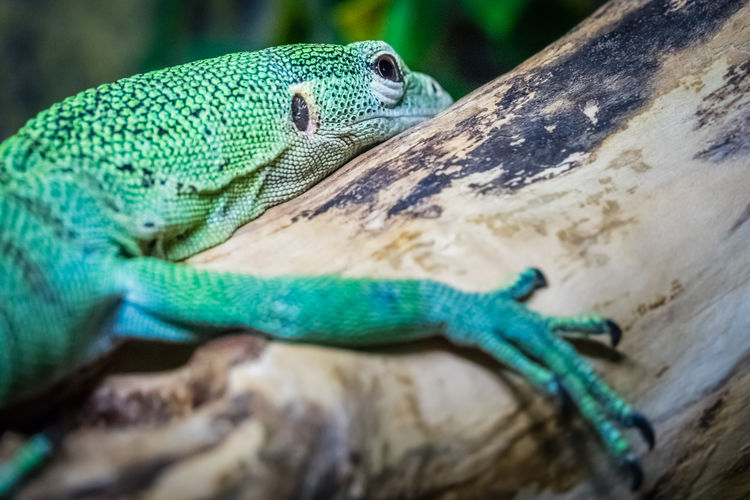 Close-up of lizard on tree branch in zoo