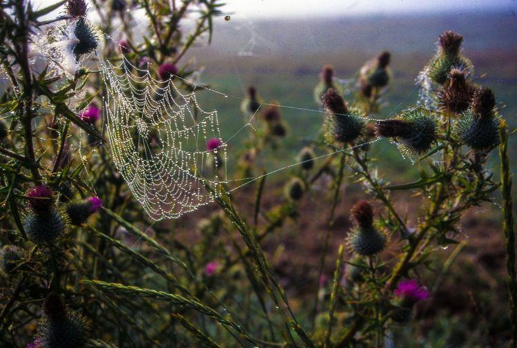 Wet Spider Web Amidst Thistle Plants