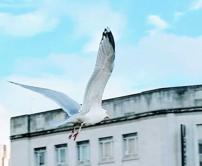 Seagull take off🏢🕊 Seagull Seagulls In The City Spread Wings Lift Off Flying Bird No People Outdoors Day Blue Sky And Clouds Inner City Urban Views Urban Scene SEAGULL IN FLIGHT Seagull And Sky Bristol, England Mobility In Mega Cities