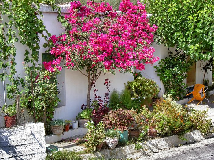 Pink flowering plants by tree outside house in yard