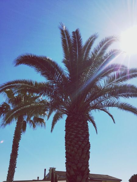 Nature Palm Tree Nature Clear Sky Sky Scenics Day Palm Frond Cecina  Sunlight Italy Sun