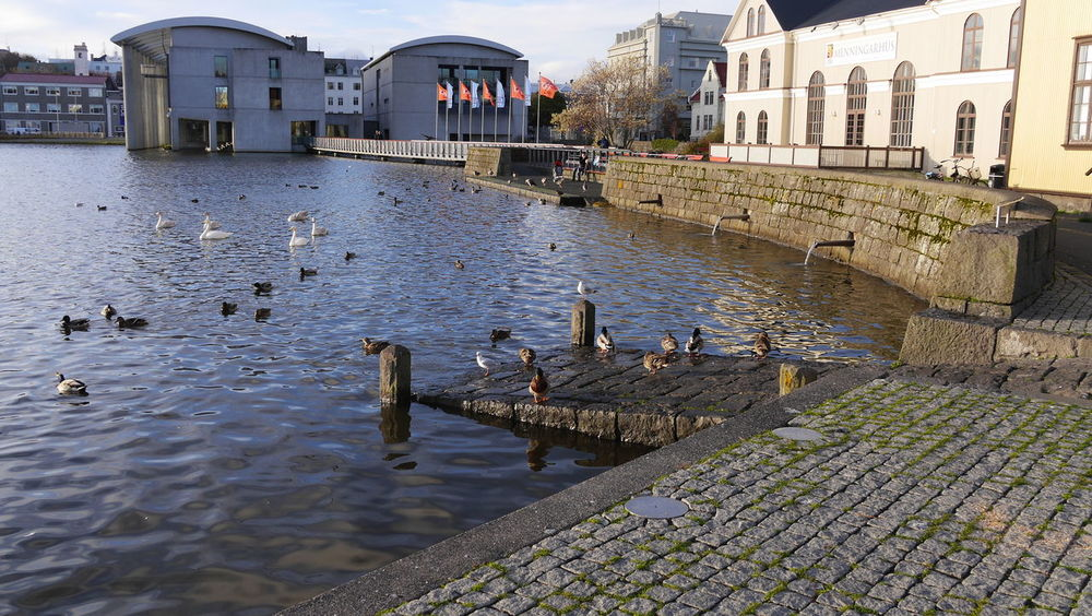 Animal Themes Animal Wildlife Animals In The Wild Bird Day Ducks Fowl Geese Iceland Nature No People Outdoors Reykjavik Seagull Water Water Fowl