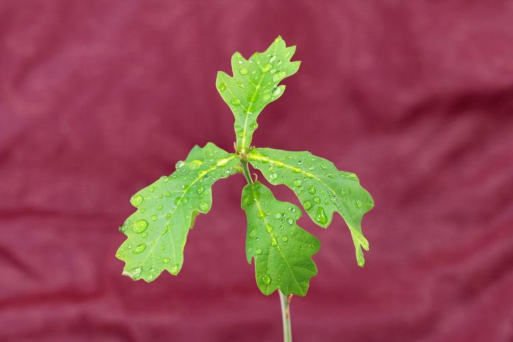 Oak Oak Tree Oak Leaves Leaf Plant Part Green Color Plant Close-up Beauty In Nature Selective Focus Nature No People Fragility Leaves