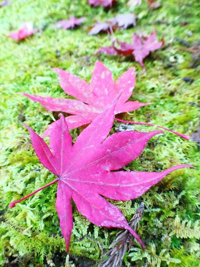 Leaves_collection Outdoors Leaves Maple Leaf Red Maplesleavs Red Leaves Maple Leaves Red Color Green Nature Nature Leaf