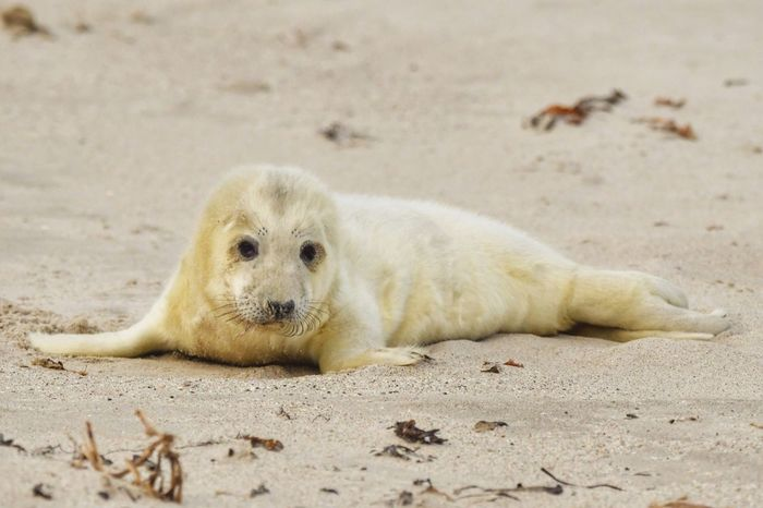 • Cuteness alert! • Cute Animal Cuteness Helgoland_collection Helgoland EyeEm Masterclass EyeEm Best Shots - Nature EyeEm Nature Lover Grey Seal Sand Animal One Animal Animal Themes Land Beach Animal Wildlife Animals In The Wild Mammal Nature No People Seal - Animal Young Animal Looking At Camera Day