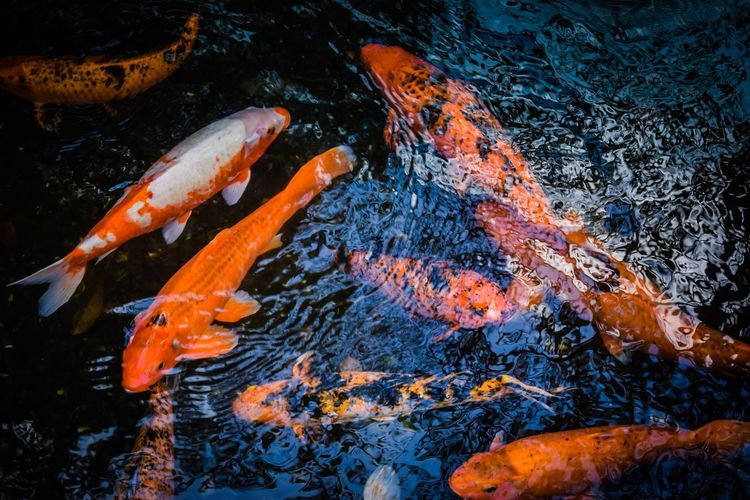 Orange Color Koi Carp Water Fish No People Sea Life Carp Swimming Outdoors Nature Animals In The Wild Animal Themes Beauty In Nature Close-up Day UnderSea Oahu, Hawaii