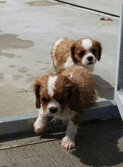 Cavalier King Puppies after walking From My Point Of View Cavalier King Charles Spaniel Close-up Wet Cavalierkingcharles Puppys No People Animal Themes Pets Doggy Love Animal Photography Fun Break The Mold