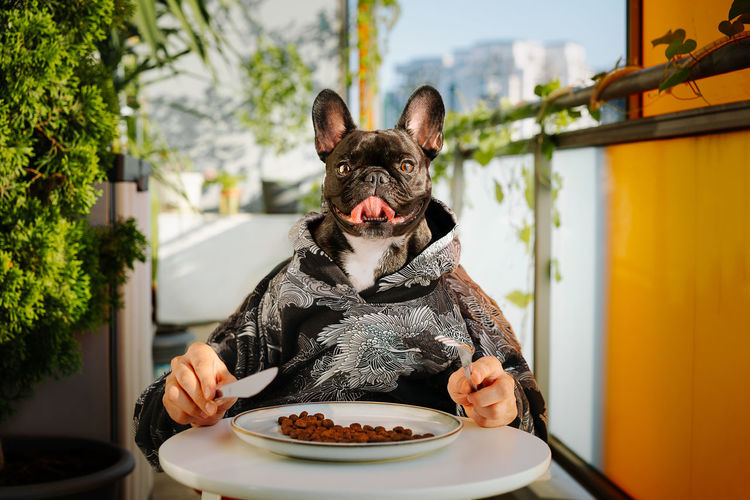 Portrait of frennch bulldog dog eating from plate on table in balcony at home