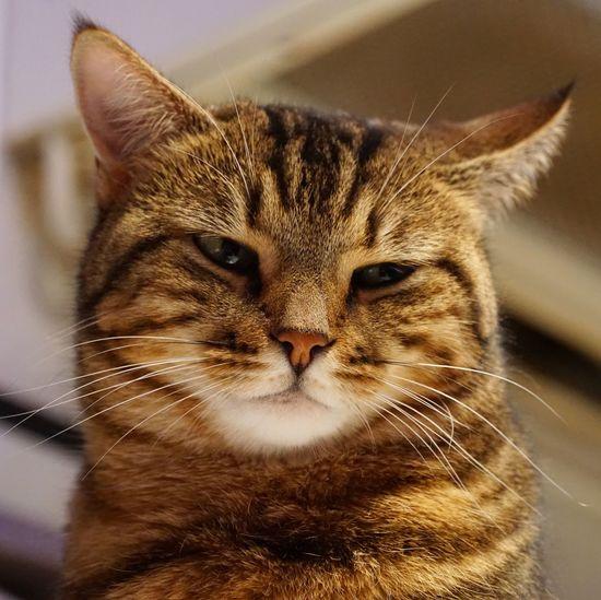 CAT Cat Domestic Cat Feline Animal Themes Pets One Animal Animal