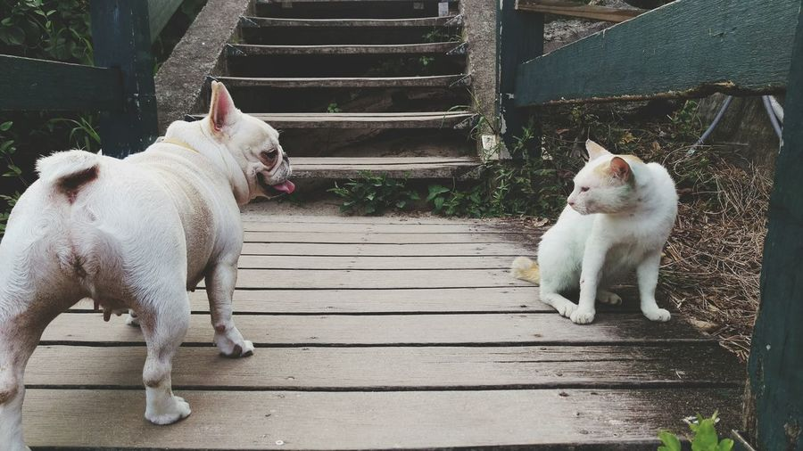 Frenchbulldog Ready For The Fights  Dog And Cat Stare Each Other Animals Being A Beach Bum Pets Corner Playing With The Animals The Moment - 2015 EyeEm Awards Share Your Adventure
