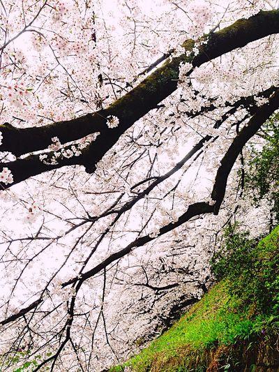 千鳥ヶ淵 Cherry Blossoms Sakura2016