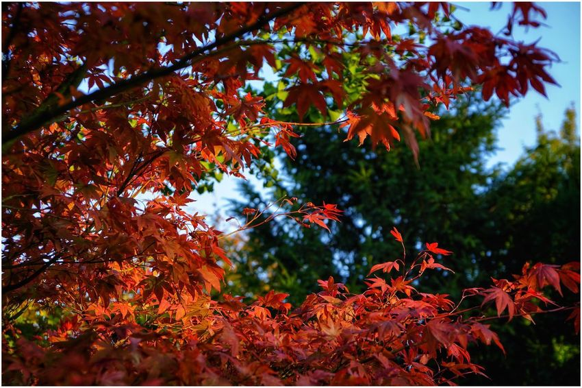Autumn Leaf Tree Nature Orange Color Beauty In Nature Red Perfection Outdoors Multi Colored Day Scenics Branch Beauty Change