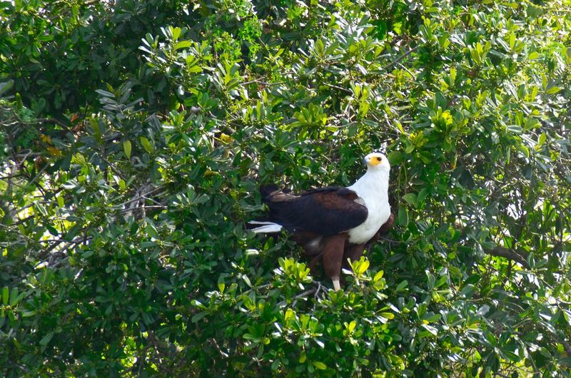 Fishing Eagle. Large bird. Hunting. Eagle. Africa. Side View Bird Photography Birding Bird Of Prey Hunting Focused Fishing Eagle Eagle Plant Animal Tree Animal Themes Growth Vertebrate Animals In The Wild Animal Wildlife Bird One Animal Nature Beauty In Nature Green Color