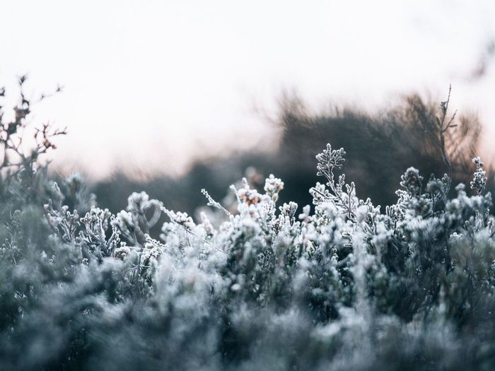 Close-up of snow covered plants on field against sky