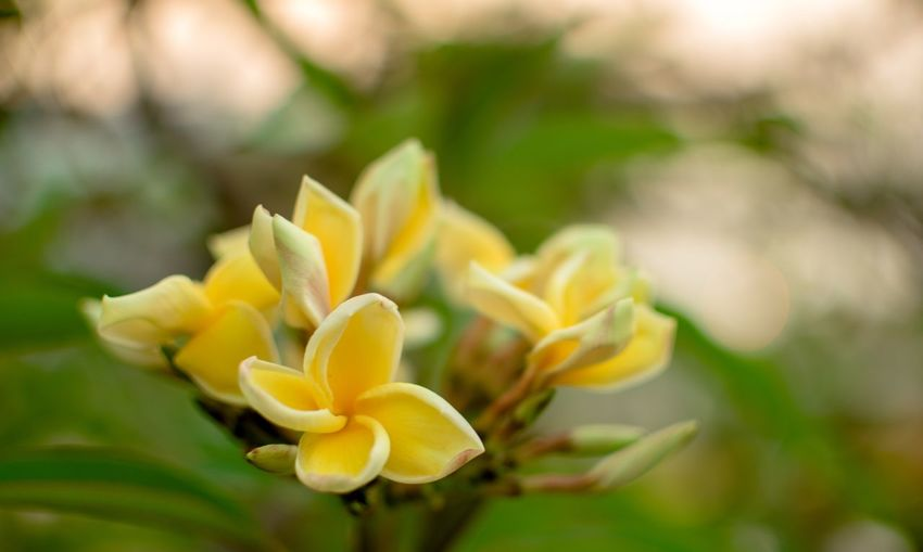Flower Flowering Plant Plant Beauty In Nature Growth Vulnerability  Close-up Flower Head Inflorescence Focus On Foreground Petal Nature No People Fragility Freshness Green Color Yellow Day Outdoors Bud