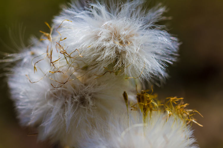 Close-up of cotton grass growing outdoors