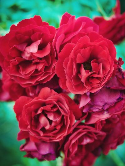 Romance in the garden Flower Flowering Plant Freshness Beauty In Nature Close-up Flower Head Red Petal Plant Fragility Nature No People Rosé Day Growth
