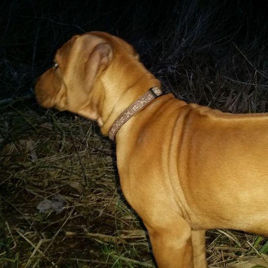 Löwenjäger Ohana auf der Pirsch ? Rhodesianridgeback Hund Dog Welpen puppies ridgeback rhodesian picoftheday instadogs love puppy ohana sweet dogoftheday