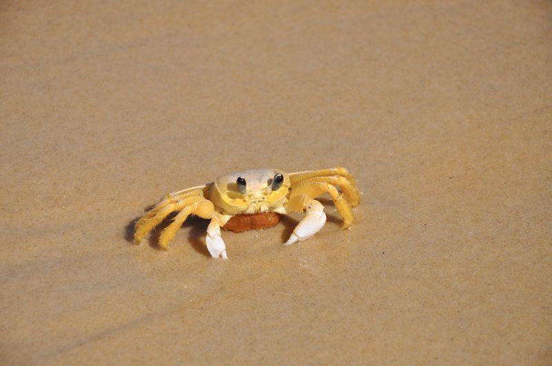 Brazil Crab