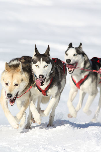 Dogs On Snow Covered Landscape