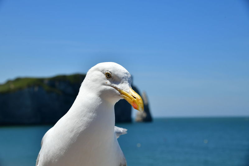Close-up of seagull against clear sky