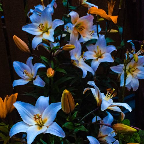 Lilies In Bloom Flowers, Nature And Beauty Flowers In My Garden Taking Photos Flowers_collection Lily Lilies Flowers EyeEm Nature Lover Outdoors