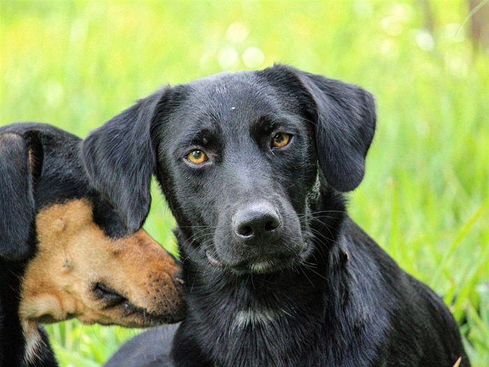 Close-up portrait of black dog