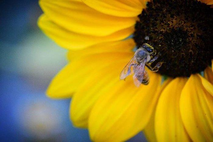 Macro Mode : ON Nikon D7200 HoneyBee Bee Nikonphotography Indiaphotography India Photography Iamexclusive Iamnikon Iamshutterbug Nikkor 105mm Closeup Flower
