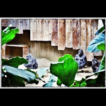 Gorillas Zoo Krefeld